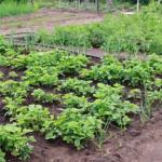 地植えのオリーブの剪定方法やコツとは?