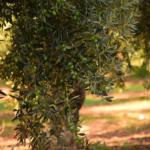 オリーブの樹形を整える剪定方法のコツとは?