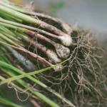 オリーブを挿し木から発根に成功させる方法やコツとは?
