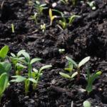 オリーブ・カラマタを苗木から成長させる育て方のコツとは?