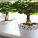 オリーブ・アルベキナを苗から成長させる育て方のコツとは?