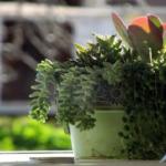 オリーブの鉢植えに追肥する方法や注意点とは