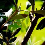 植え替え後のオリーブは日陰で育てても大丈夫?適切な日当たりは?