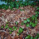 オリーブの新芽が枯れる?原因や対処方法とは?