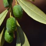 オリーブ・セントキャサリンを苗から成長させる育て方のコツとは?