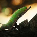 オリーブにつく青虫は害虫の幼虫?種類は?