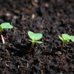 オリーブを地植え(植え付け)するのに最適な土壌とは?