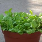 オリーブの鉢植えの選び方の目安とは?