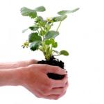 オリーブの植え替えの必要性とは?植え替えの目安やタイミングとは?