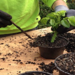 鉢植えのオリーブを植え替える時期はいつ頃のタイミング?季節は?