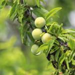 オリーブが茶色になって枯れる?原因や対処方法とは?