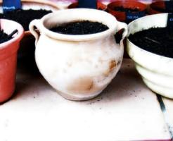 オリーブ 土壌 鉢植え