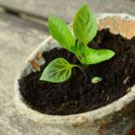 オリーブの鉢植えを植え替える方法やおすすめな鉢の大きさとは?