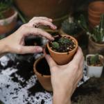 オリーブの苗の植え替え方法のコツとは?